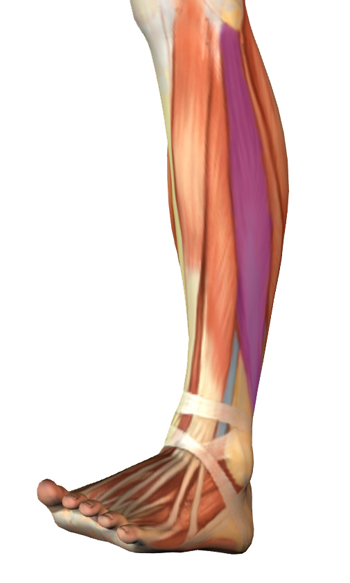 The Lateral Lower Leg